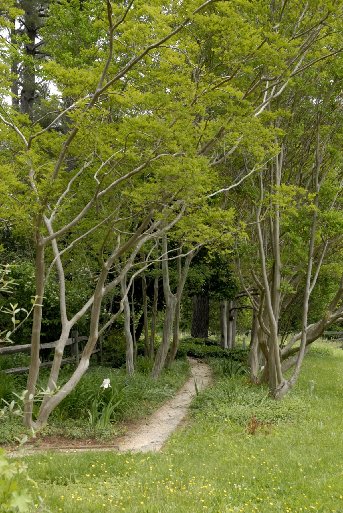 Trees flanks a narrow path through the grass
